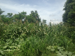maize intercropped with pumpkin, Bassin Zim, Haiti